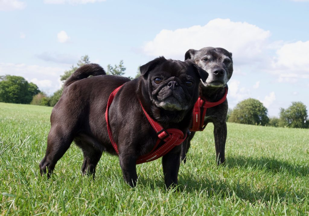 Pug and Staffy on Durdham Downs