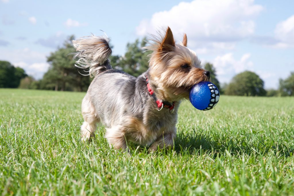 Yorkshire Terrier dog ball game Bristol dog walk