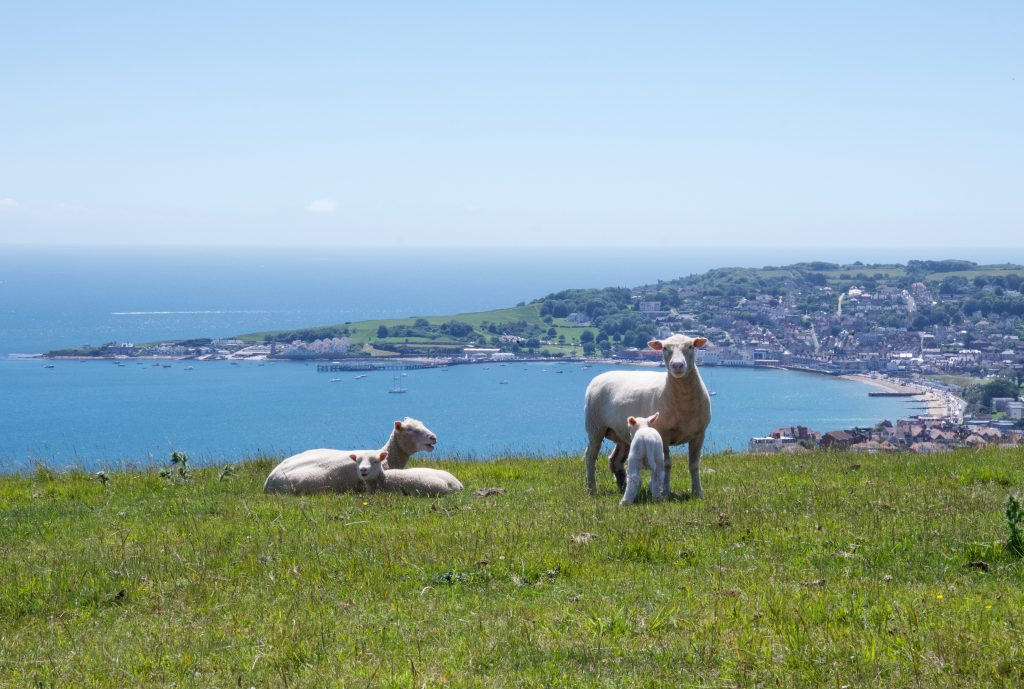 Sheep and lambs with views over Swanage, Dorset