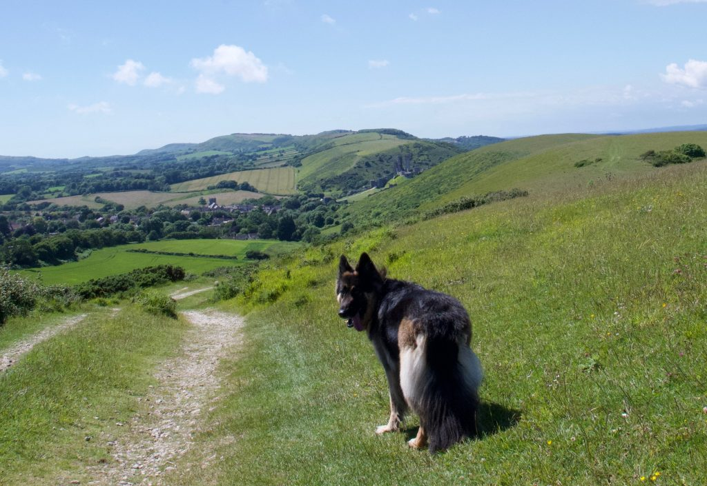 Dog next to Corfe Castle
