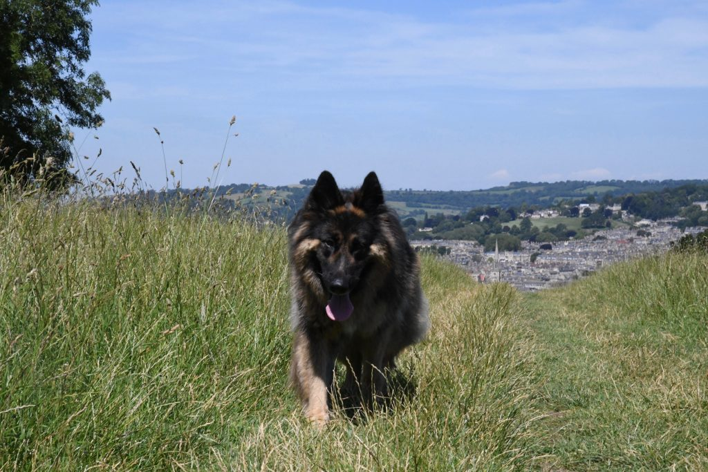 German Shepherd on Bath Skyline Walk