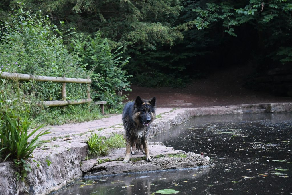 Dog watching ducks at Abbots Pool Bristol