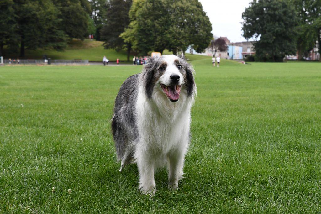 Border Collie dog in Greville Smyth Park Bristol