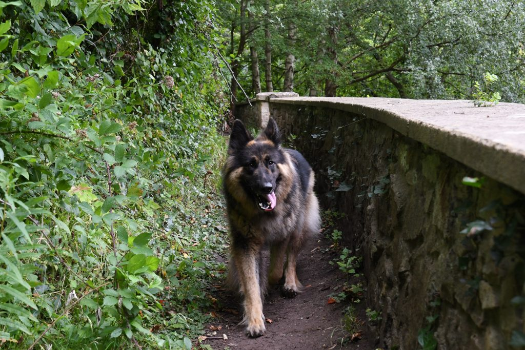 Dog running along woodland paths.