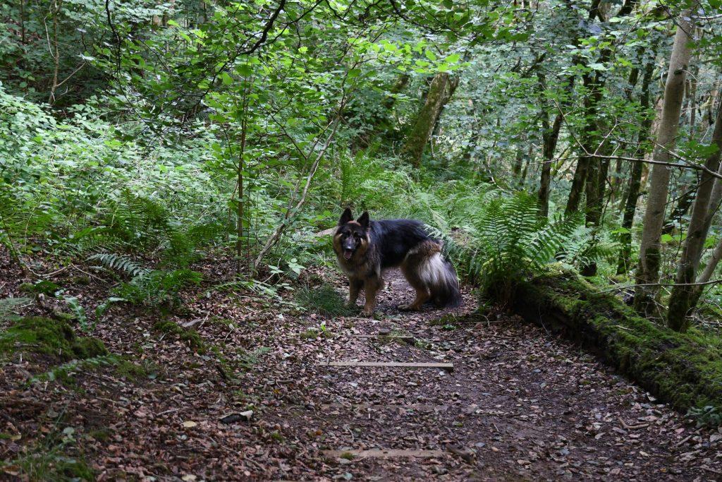 Long Wood German Shepherd in woodland