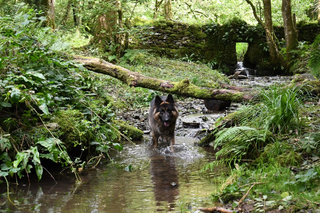Long Wood Nature Reserve dog in stream