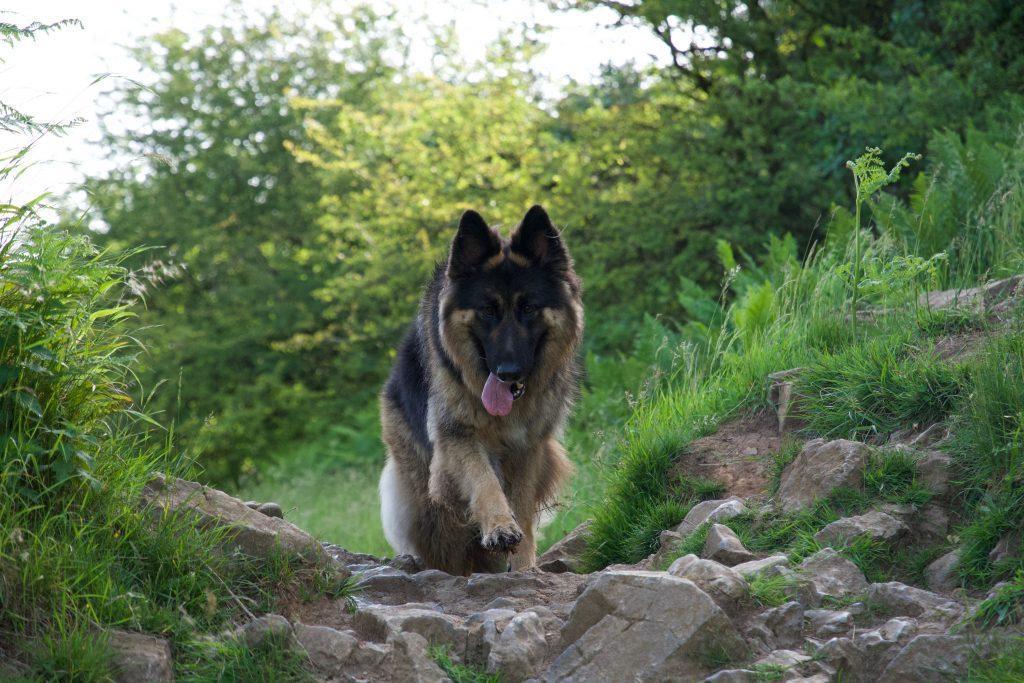 German Shepherd in Cheddar Gorge.