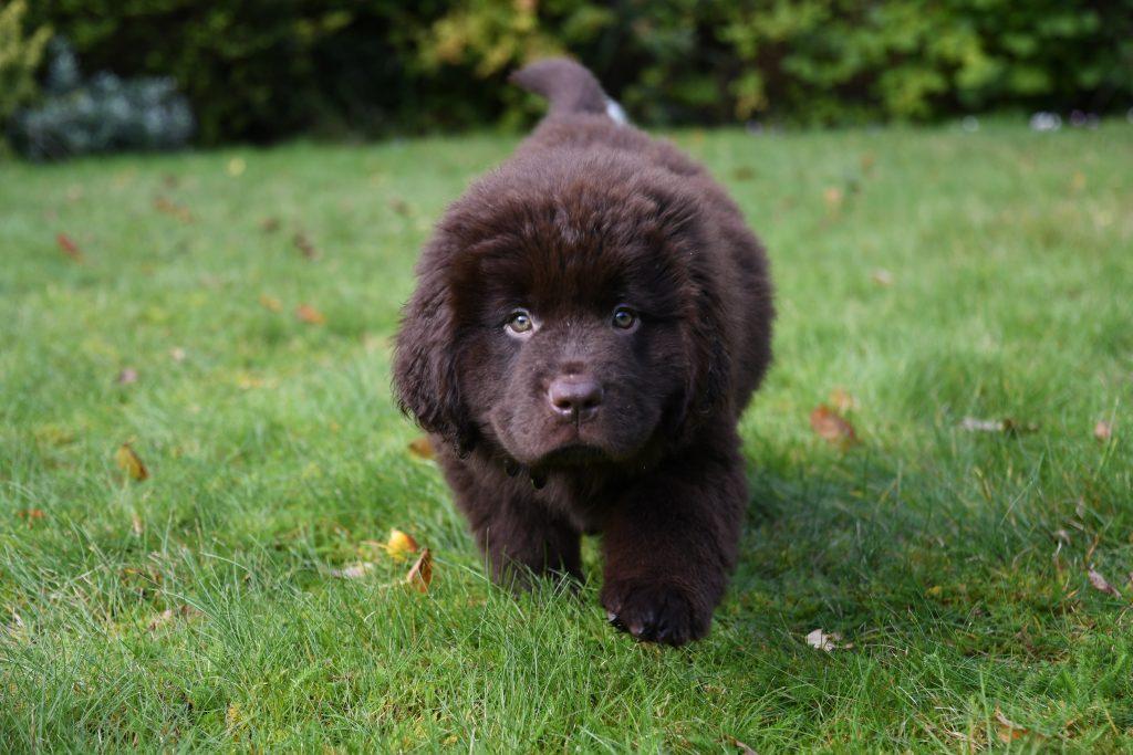 Newfoundland puppy Bristol