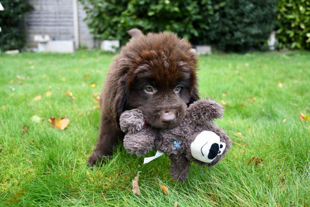 Newfoundland Bristol puppy visits