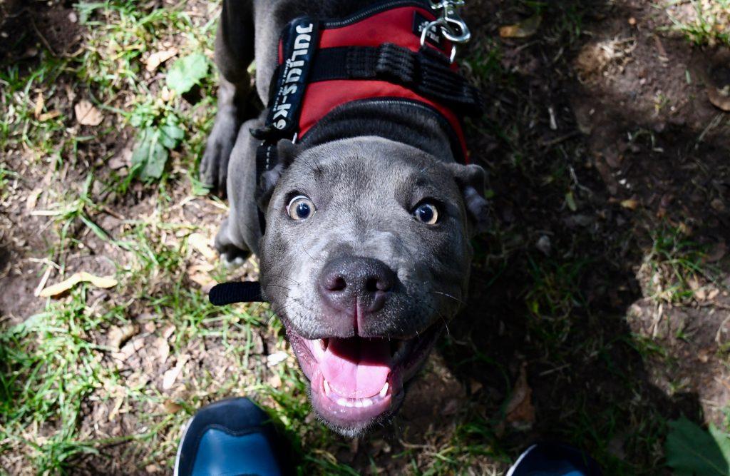 Staffy puppy at Bristol park
