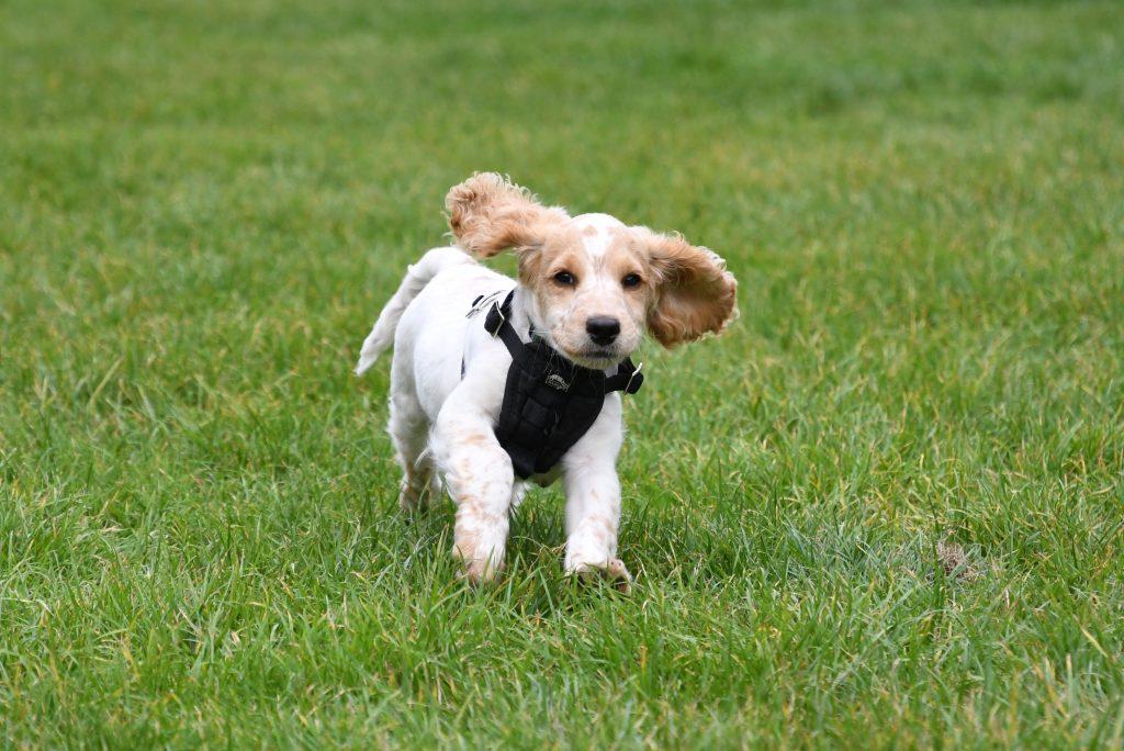 Bristol puppy