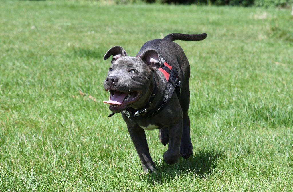 Staffordshire bull terrier at Bristol park