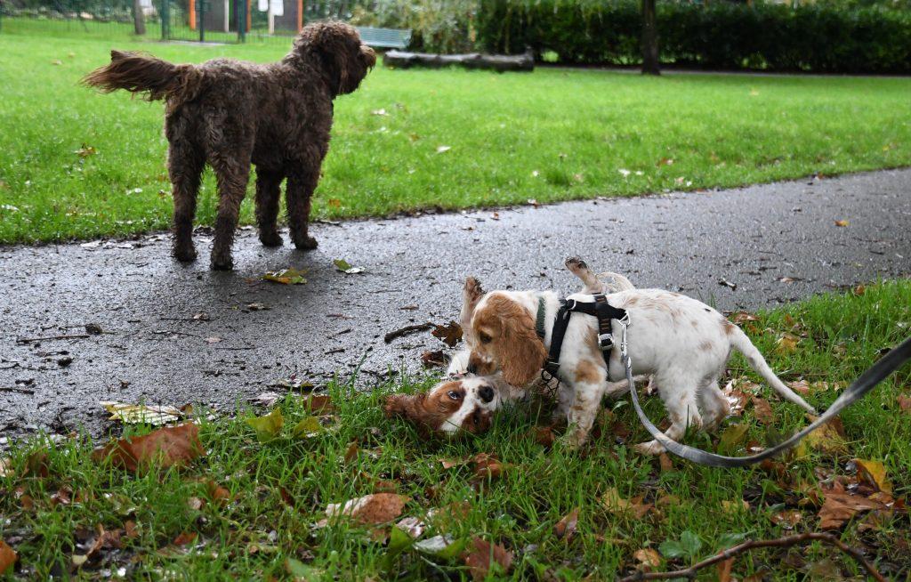 Puppies playing at St Werburghs park
